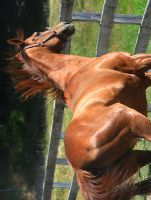 Chestnut Mare by tidesend