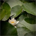 Waterlily by Rempstaar