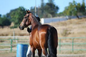 Bay Gaited Horse 6 by xxtgxxstock