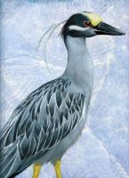 Yellow Crowned Night Heron by ShadowKorin