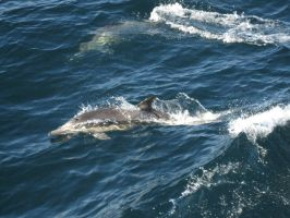 Dolphins off Channel Islands by jeffrade