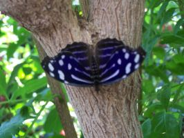 Purple butterfly by Amf624