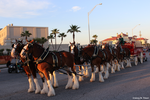Budweiser Clydesdales at Mardi Gras Parade by bltshop