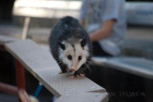 Awesome Opossum by Macropus-Rufus