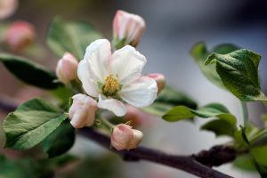 apple tree blossom by ~guytz