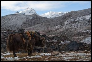 Between a yak and a hard place by Dominion-Photography