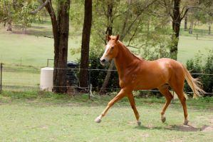 TB - Extended Trot no tack by Chunga-Stock