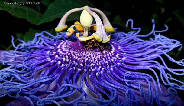 Bee on passion flowers by RADIANTROSAS
