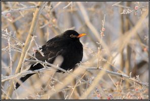 Turdus merula by Dark-Raptor