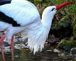 White Stork - Ciconia ciconia by TheFunnySpider