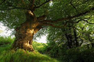 Belvoir Tree, Evening Light II by Gerard1972