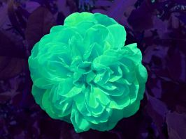 Green Glowing Rose by crotafang