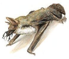 Lesser mouse-eared bat by batworker