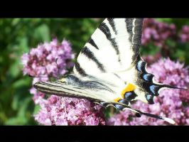 Iphiclides podalirius 2 by PMeMe