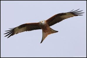 Red Kite VII by nitsch