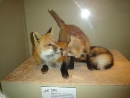 Red Foxes by Archanubis