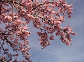 Cherry Blossoms 02 by Sakura222-stock