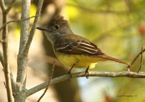Great Crested Flycatcher 1 by natureguy