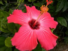 Hibiscus by penelloppe