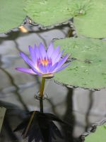 Water Lily by pisthelimit