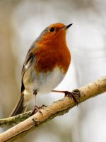 Redbreast. by quaddie