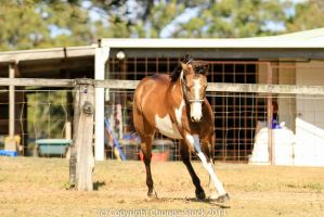 VR Pinto turning trot front view by Chunga-Stock