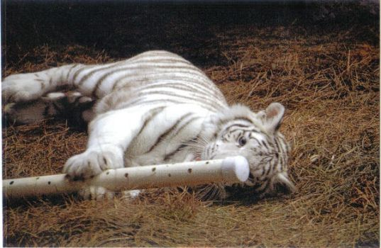 White Tiger 6 by Jaded-Lithium