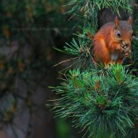 Sciurus vulgaris by Mygrapefruit