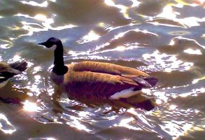 Duck at Riverpark by Bobcat79