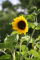 Tournesol by CecileVCreation