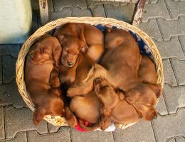 Irish Setter Puppies by greedy-peri