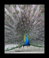 Peacock by cluster5020