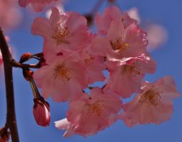Pink Blossoms Of Spring by Matthew-Beziat
