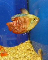 Beautiful Fish from Pet Store by Enchantedgal-Stock