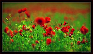 Red Poppy Field by miki3d