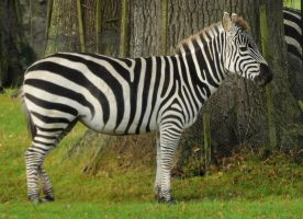 Grant's Zebra Stock 1 by LRG-Photography