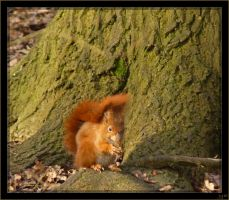 Red squirrel - 1 by J-Y-M