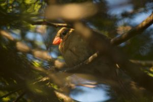 Female Cardinal April - 2014 - 3 by toshema