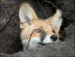 Red fox in his hole by woxys