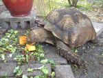 Leroy likes his pumpkin-African spurred Tortoise by knighttemplar1