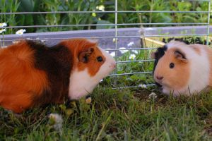 My guinea pigs! by mio-san13