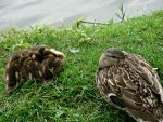 Mamma and Ducklings by Michies-Photographyy