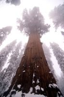 Giant Sequoia in the snow by piemagon