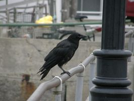 Crow Stock2 by D-is-for-Duck