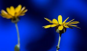 Yellow on blue by mv79