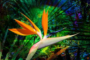Bird of Paradise by Lindalees