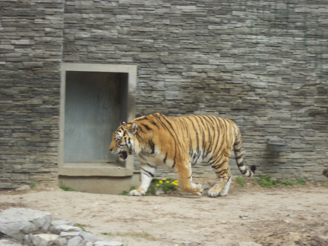 Amur Tiger at Cracow Zoological Garden by MrGorsh