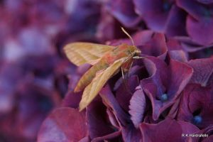 Elephant Hawk-moth (1) by hardrafello