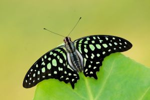 Tailed Jay - top print by inckurei