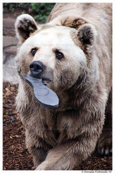 Bear and fish by TVD-Photography